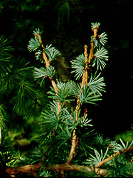 Larix_kaempferi_Blue_Rabbit